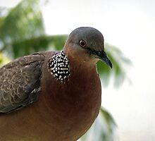 ~ Spotted Dove ~ by Brenda Boisvert