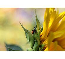 Spider on sunflower (Malta) Photographic Print