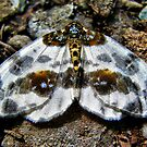 The Clouded Magpie Moth by A90Six