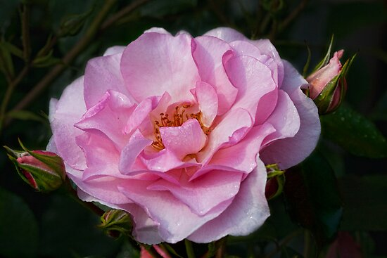 Pretty in Pink by Val Saxby