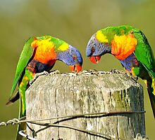 Rainbow Lorikeets In Our Back Paddock. Brisbane, Queensland,  Australia by Ralph de Zilva