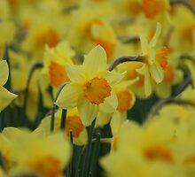 Sea of Daffodils by Sally J Hunter
