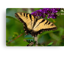 Eastern Tiger Swallowtail on Butterfly Bush Canvas Print