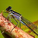 Female Bluetail (Violacea) by Robert Abraham