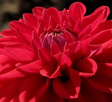 Red Dahlia Hybred by swaby