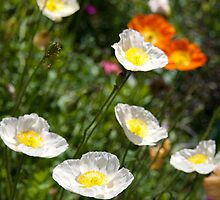 Icelandic Poppies by endlessbright