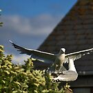 Kittiwakes In My Garden by Gary Buchan