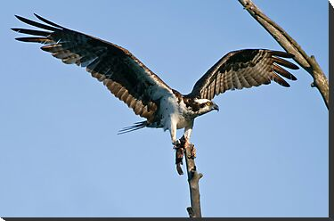 Osprey - Ottawa, Ontario by Michael Cummings
