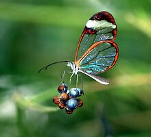 Glasswing butterfly feeding on berries by John Morrison