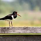 Oystercatcher by Majnu