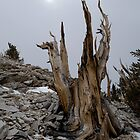 Bristlecone Pine Reaches For the Sun by Rick Ferens
