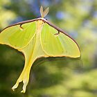 Luna moth by Robert Kelch, M.D.