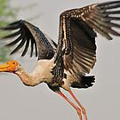 Yellow-billed-stork (INDIA)  by Marieseyes