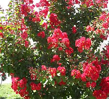 Crepe Myrtle Red by Navigator
