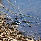 Blue wren , Laratinga Wetlands, Mount barker, S.A. by elphonline