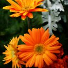 Tangerine Colored Gerbera's by kkphoto1