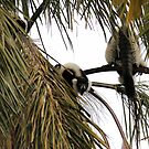 Howling Black & White Ruffed Lemur by Sandra Chung