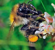 Bee On Flower 0002 by mike1242