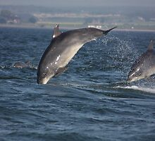Moray Firth Bottlenose Dolphins by Ellis Lawrence