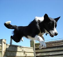 Dog leaping a fence by David  McCaw