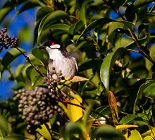 Red-whiskered Bulbul by houenying