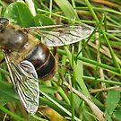 Eristalis tenax hoverfly! by sarnia2