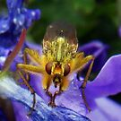 Dung fly (Cleg) by sarnia2