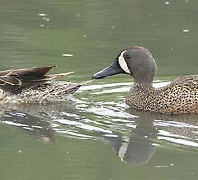 Mrs and Mr Blue-winged Teal by DigitallyStill