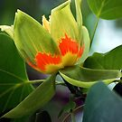 Tulip Tree Blossom by Mattie Bryant