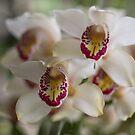 Orchid by Anna D'Accione