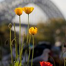 Four poppies with Sydney Harbour Bridge backdrop by Sheila  Smart