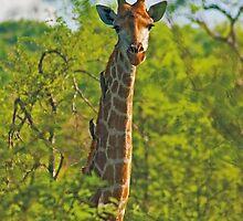 Giraffe (Giraffa camelopardalis) by Konstantinos Arvanitopoulos
