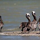 Brown Pelicans by Regenia Brabham