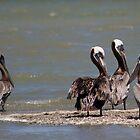 Brown Pelicans by Regenia Brabham