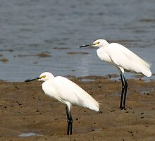 Little Egret by EnviroKey