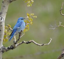 Mountain Bluebird by Ron Kube