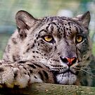 Snow leopard by Val Saxby
