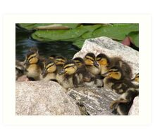 Baby Mallards Too Art Print