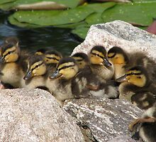 Baby Mallards Too by swaby