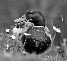 Duck 'N' the daisies by Darren Bailey LRPS