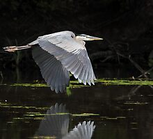 Off The Water / Great Blue Heron by Gary Fairhead