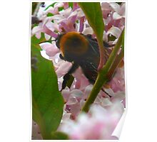 Bee In A Lilac Tree Poster