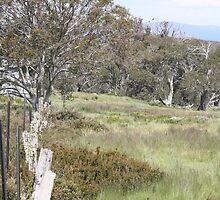 Snow Gum Woodland by EnviroKey