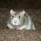 No, I'm not a hamster but a fancy rat! by Alexandra Wise-Brogna