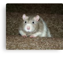 No, I'm not a hamster but a fancy rat! Canvas Print