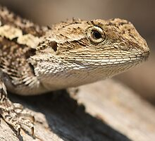 Jacky Dragon by EnviroKey