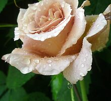 Rainy Day Rose. by Petehamilton