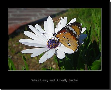 White Daisy and Butterfly by taiche