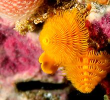 Yellow Christmas Tree Worms by John Marriott