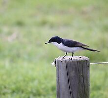 Restless Flycatcher by EnviroKey